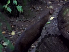 Pine marten - in forest Stock Footage