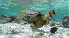 Titan Triggerfish in the coral garden Stock Footage