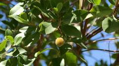 Litchi Fruit on the Branch Tree Stock Footage