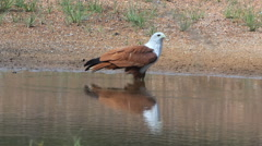 Red-backed sea-eagle or Brahminy Kite Stock Footage