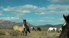 Grazing wild horses close to Black Rock Desert Stock Footage