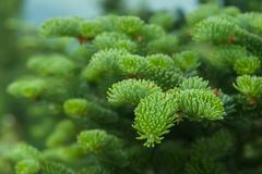 Fir tree branch close up Stock Photos