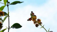 A Red Admiral Butterfly Feeds on the Nectar of a Buddleia Plant Stock Footage
