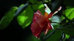 Garden Rose  - Fiery Flowers - Loop - 01 Stock Footage