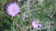 Bumblebees on thistle flowers Stock Footage