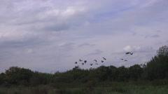 Wildlife Geese In Flight Stock Footage