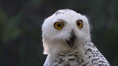 Snowy Owl or Snow Owl aka Hedwig Stock Footage