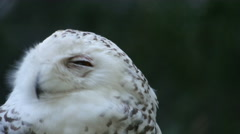 Snowy Owl aka Hedwig Stock Footage
