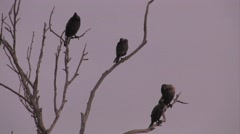 Cormorant birds in trees. Double-crested Cormorant at Morro Bay Stock Footage
