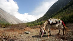 Horse pasturing on mountain environment. Stock Footage