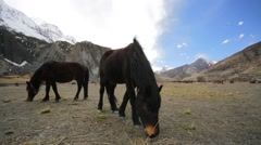 Wild horses pasturing on mountain environment. Stock Footage