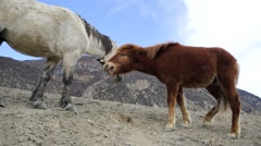 Wild horses pasturing on mountain environment. Stock Footage
