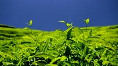 Tea plantation. Stock Footage