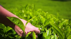 People harvest green tea bush. - stock footage