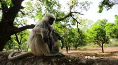 Blace faced monkeys Stock Footage