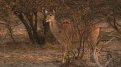 4K+ R3D - Greater Kudu - Drinking at waterhole. Africa mammal safari antelope Stock Footage