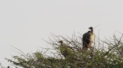 4K+ R3D - White-backed Vulture - pair on top of thorn tree. Africa raptor bird Stock Footage