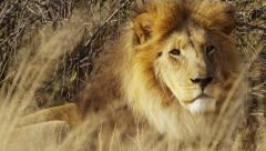 4K+ R3D - Lion - close shot of male lying in grass, looks toward camera B. Stock Footage