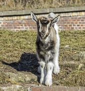 baby goat standing in front of a barn. - stock photo