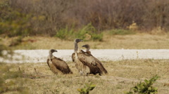 4K+ R3D - White-backed Vulture - three vultures on the ground, one walks away Stock Footage