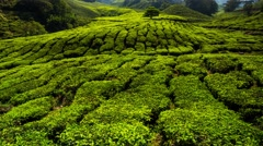 4K timelapse of tea plantation. - stock footage