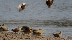 4K+ R3D - Burchell's Sandgrouse - birds landing and taking off. Nature fly Stock Footage