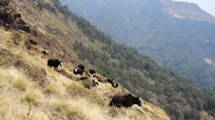 Yaks pasturing on mountain environment. Stock Footage