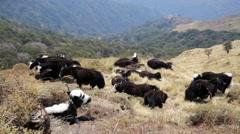 Yaks pasturing on mountain environment. Stock Footage