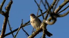 Red-backed shrike Stock Footage
