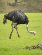 Ostrich eating grass Stock Photos