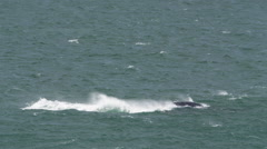 4K+ R3D - Southern Right Whale - tail in air as it dives. Nature africa ocean - stock footage