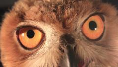 Stock Video Footage of eagle owl eyes
