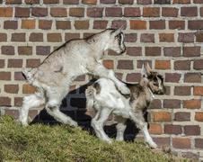 baby goats playing. - stock photo