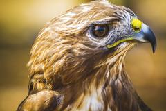 Eagle, diurnal bird of prey with beautiful plumage and yellow beak Stock Photos