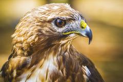 Fauna, eagle, diurnal bird of prey with beautiful plumage and yellow beak Stock Photos