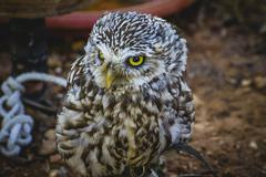 Cute little owl, gray and yellow beak and white feathers Stock Photos