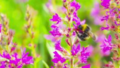 Bumblebee on a red flower Stock Footage
