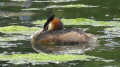 Great Crested Grebe resting Stock Footage