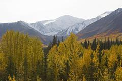 Indian summer along alaska highway, trembling aspen trees, quaking aspen, qua Stock Photos