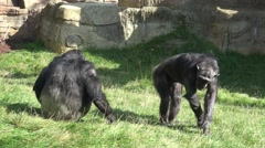 4k Bored Chimps playing in rocky grassland Stock Footage