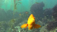 Garibaldi: The California State Fish Stock Footage