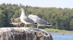 Family of seagulls, feeding of a chick , sea birds colony life Stock Footage