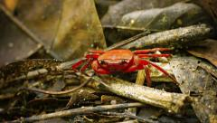 Semiterrestrial frugivorous waterfall crab (phricothelphusa limula) on forest Stock Footage