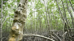 Dolly shot  of mangrove forest Stock Footage