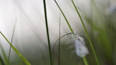 Cottongrass moving in summer breeze Stock Footage