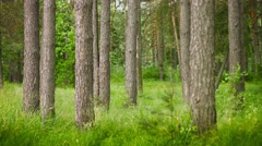 pine forest. static composition - stock footage