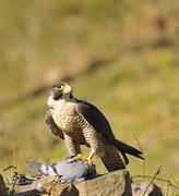 peregrine falcon. - stock photo