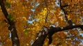 Autumn landscape, krone of tree with yellow leaves, rotating. Footage