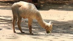 Cute White Alpaca eat leaf. - stock footage