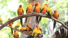Sun Conure parrot bird group on tree branch. Stock Footage